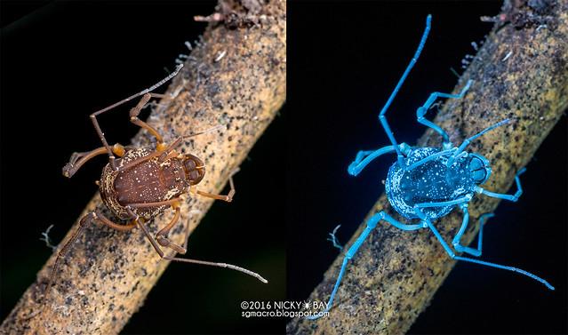 Harvestman (Cosmetidae) - Opiliones_ESC_0149