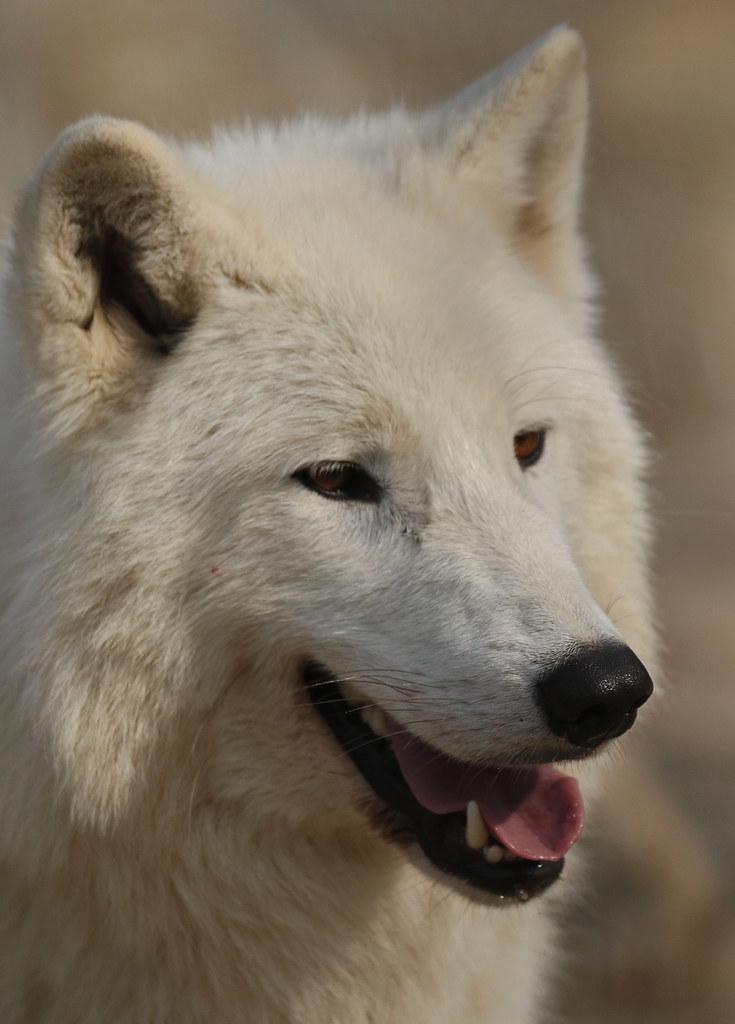 hudsonbay wolf Hoenderdaell JN6A3137