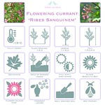Flowering Currant 'Ribes Sanguinem'