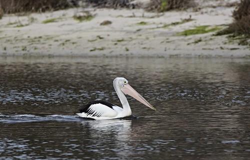 Australian Pelican  WA