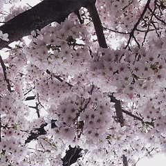 minoo❤︎  #latergram #minoo #osaka #cherryblossom #桜 #箕面 #大阪