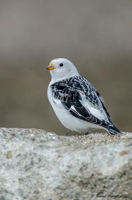 Plectrophanes des neige, plumage nuptial. 26125055061_cd362b9b1c_c