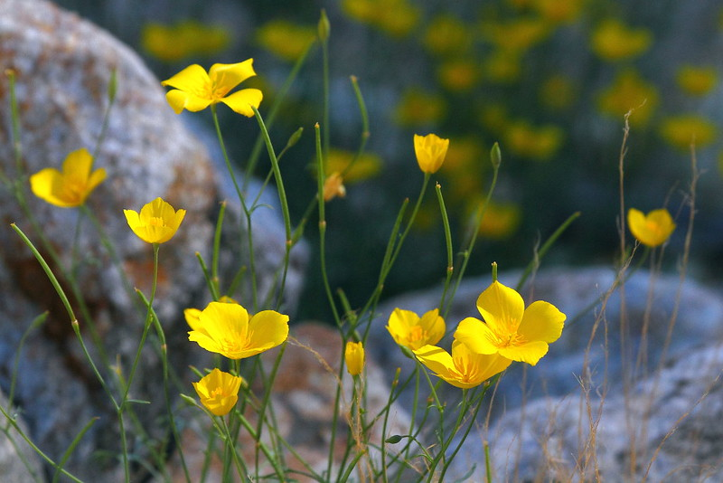 IMG_6496 Parish's Gold Poppy (Eschscholzia parishii) in Borrego Palm Canyon