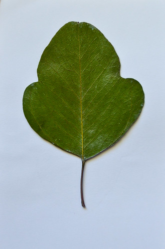 6. Let leaves sit and dry overnight.