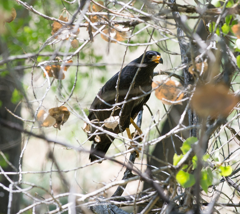 Common Black Hawk in Tree