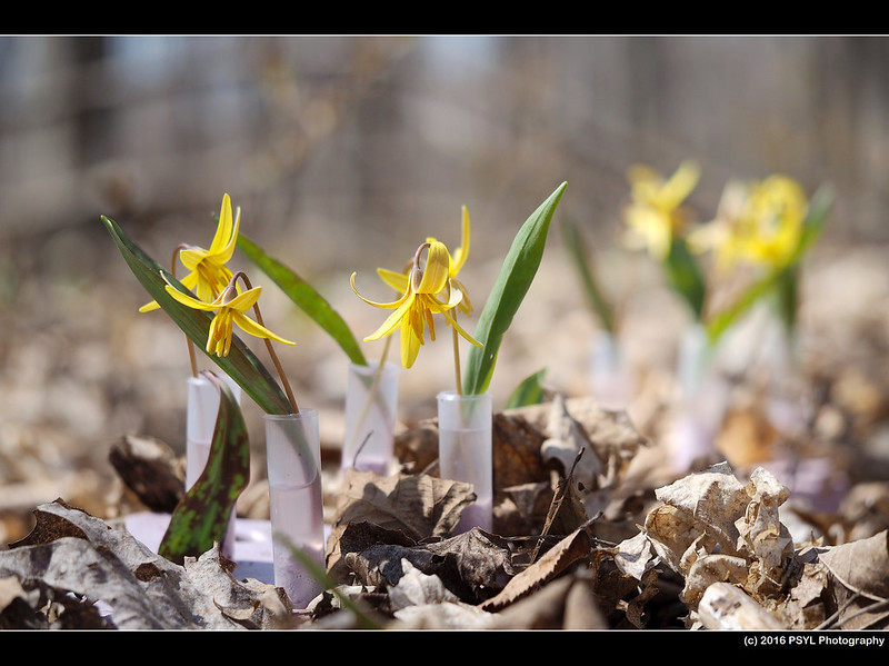 Trout Lilies (Research array #3 - yellow pollen)