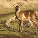 Mule Deer by Sean McCann (ibycter.com)
