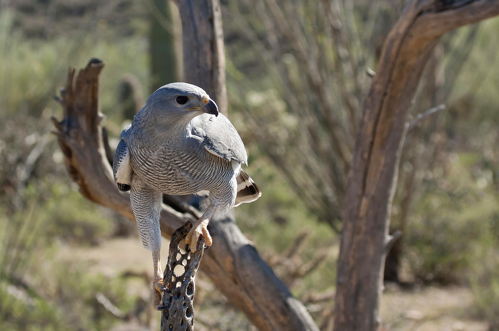 Gray Hawk (Asturina nitida); Tucson, AZ, Sonoran Desert Museum [Lou Feltz]