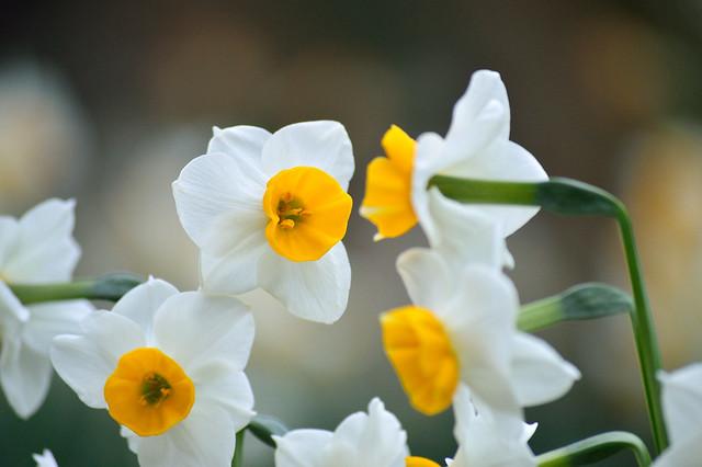 スイセン Narcissuses (2)