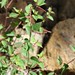 Small photo of Acalypha sp. (Euphorbiaceae)