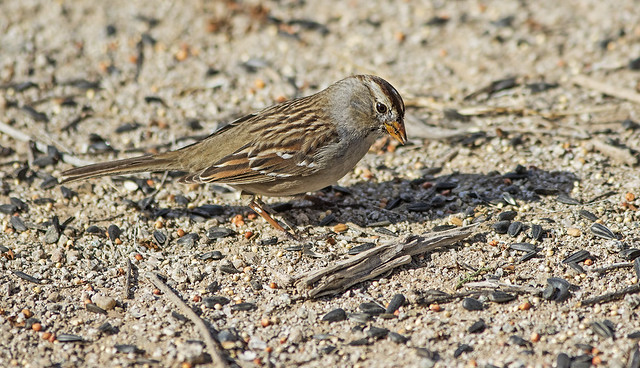 White-Crowned Sparrow 15_7D2_140116