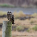 Short Eared Owl by Dex Horton Photography