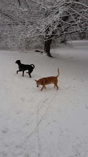 Sophie, Penny & Teutul playing in the snow 2.5.16