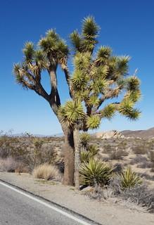 Big Joshua Tree