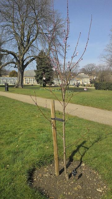 "Prunus dulcis ""Ingrid"""