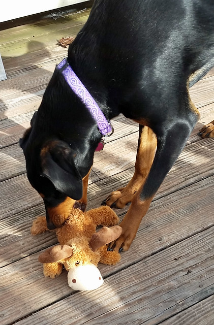 Doberman puppy #Kong Moose #dogtoy #Chewy #puppyplaytime
