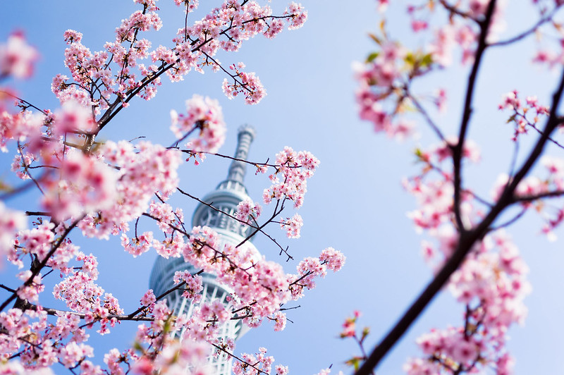 sakura under the skytree
