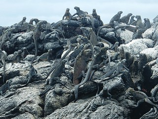Hundreds of marine iguanas - Galapagos islands