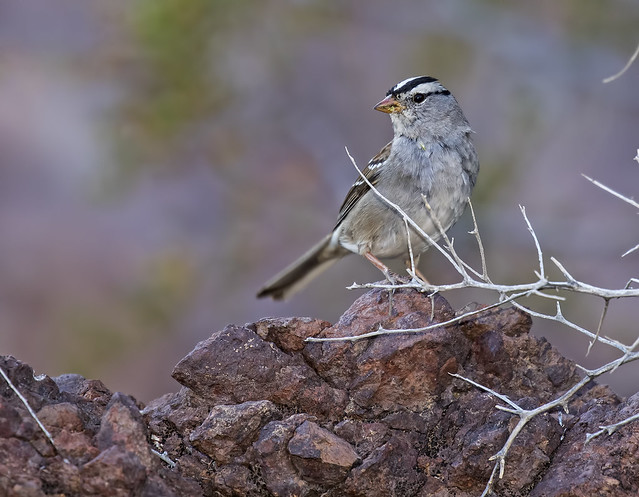 White-Crowed Sparrow 12_7D2_140316