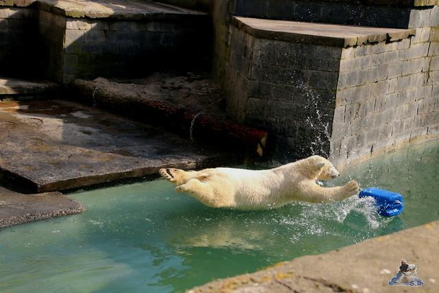 Eisbär Fiete im Zoo Rostock 20.03.2016  0103