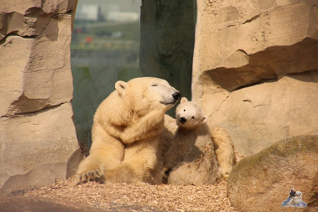 Eisbär Lili im Zoo am Meer Bremerhaven 09.04.2016 Teil 1  0121