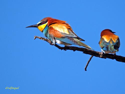 Abejaruco europeo (Merops apiaster) (1)