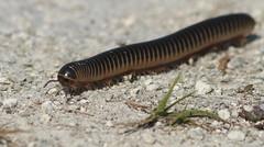 Florida Ivory Millipede- Aripeka Sandhills Preserve