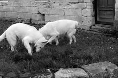 My neighbor\'s dogs
