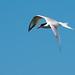 Elegant Tern (Thalasseus elegans)_DSC4021e por Dave Krueper