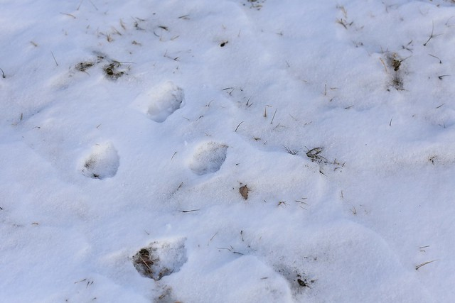 frolicking coyote tracks