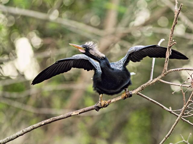 Anhinga male 05-20160210