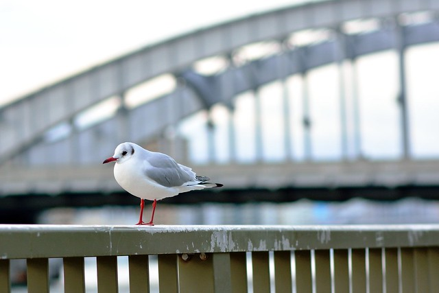 black-headed gull_05