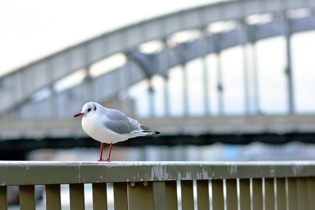 black-headed gull_05
