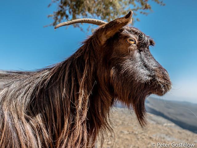 Jebel Shams goat