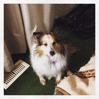 Gracie hasn't quite decided if she is happy to be here but she has been closely monitoring my unpacking! #ilovemydogs #shetlandsheepdog #sheltie