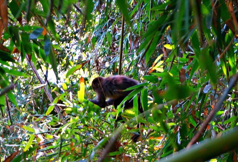 Tijuca Forest Monkey