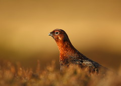Red Grouse by Martial2010