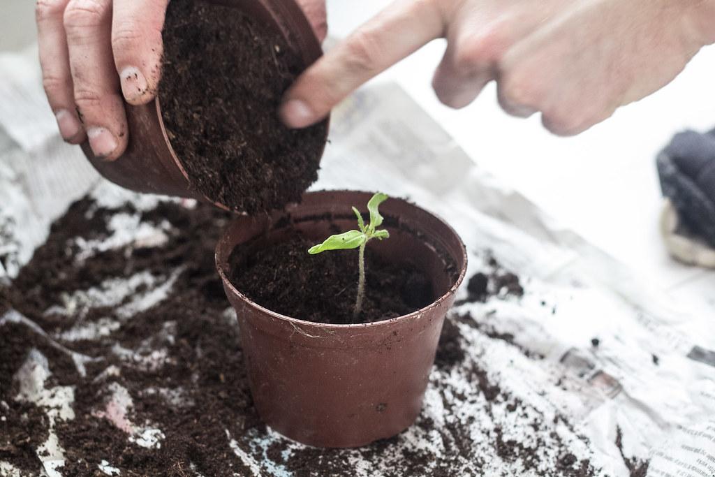 Omplantning af tomatplanter
