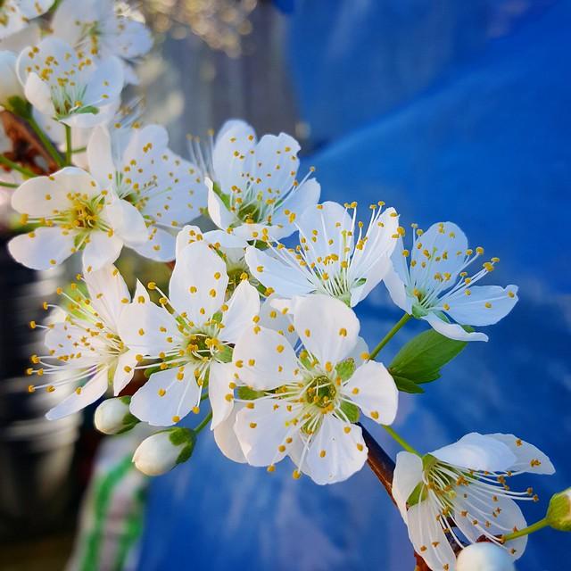 Inca Plum Blooms