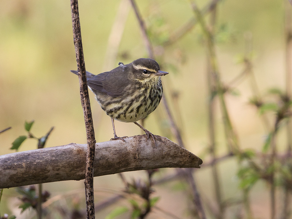 Louisiana Waterthrush   Cuba