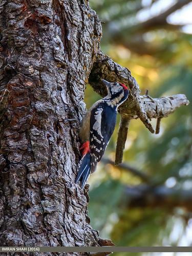 pakistan birds fauna canon geotagged wings wildlife feathers tags location species tamron category avifauna nathiagali abbottabad kpk dendrocoposhimalayensis imranshah canoneos7dmarkii tamronsp150600mmf563divcusd himalayanwoodpeckerdendrocoposhimalayensis gilgit2