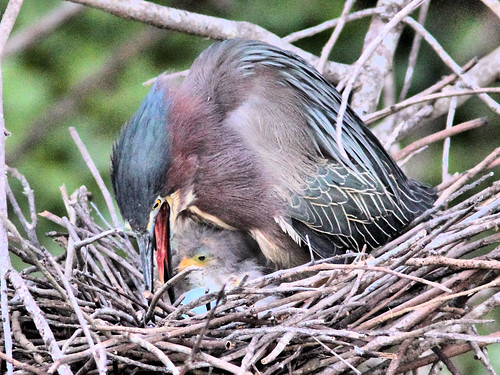 Green Heron 17-5 with hatchlings HDR 03-20160413