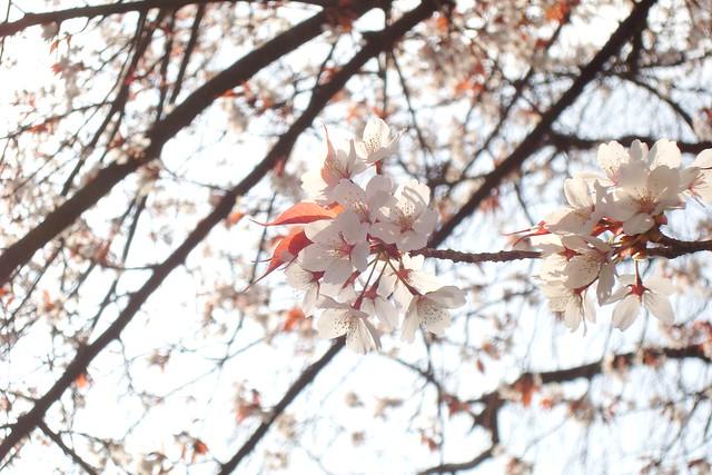 2016/03 平野神社 #02