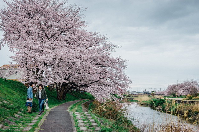 CherryBlossoms_202