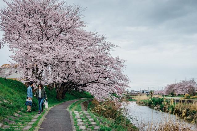 CherryBlossoms_202