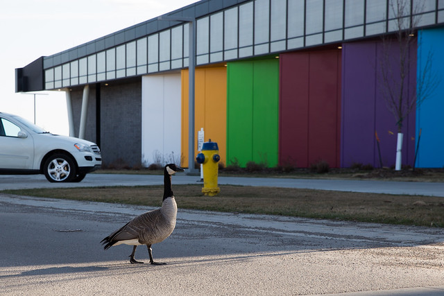 Why did the Canada Goose cross the road?