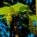 Small photo of Acer pennsylvanicum