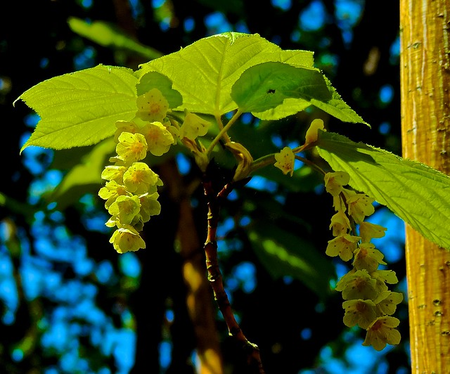 Header of Acer Pennsylvanicum
