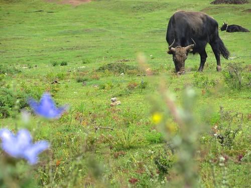 Tibet Wild Yak