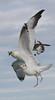 Gannet and Gulls